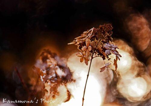 朽ちた紫陽花の想い
